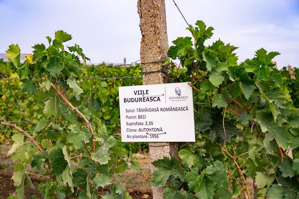 Panou Budureasca Tamaioasa romaneasca